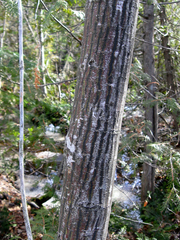 A special find (at least to me!)...a Striped Maple, can you guess how it got its name;)