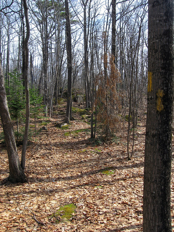 Turning towards the cliffs the trail remains amongst a very open, and young, forest of hardwoods...
