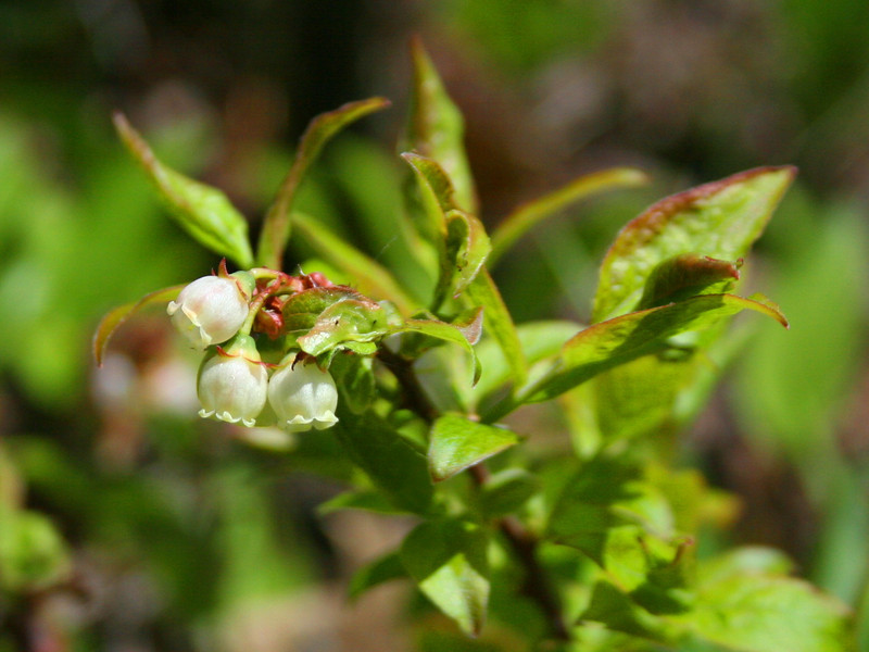 We noticed a number of low-bush blueberries near the falls, though none were ripe...