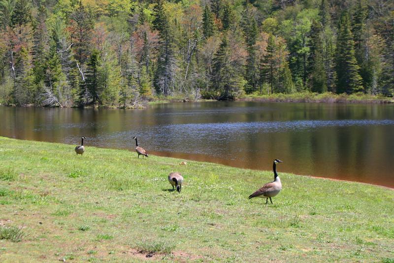 Some Canada Geese enjoying the sun...