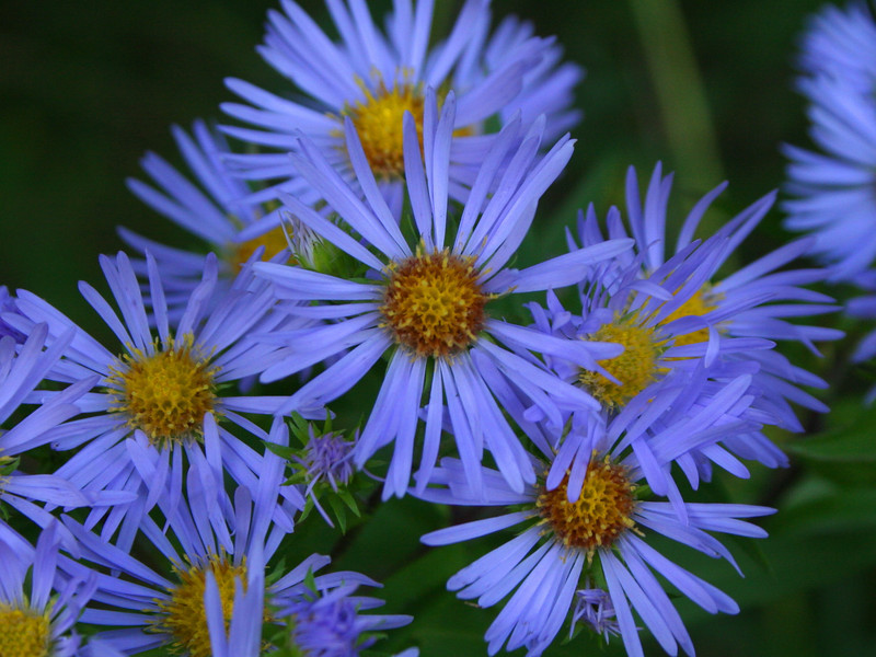 Another large cluster of Large-leaved Aster...