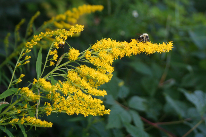 The <i>{sniff}</i>bane of my late-summer <i>{sniff}</i>existence...Goldenrod >:{