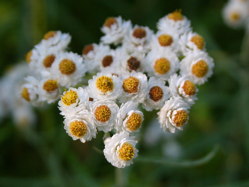 Just like when I was here this time last year I was being eyeballed by huge clusters of Pearly Everlasting...