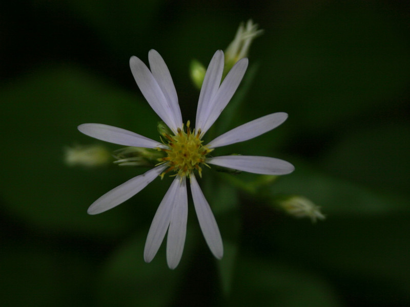 Large-leaved Aster was growing all over around here...