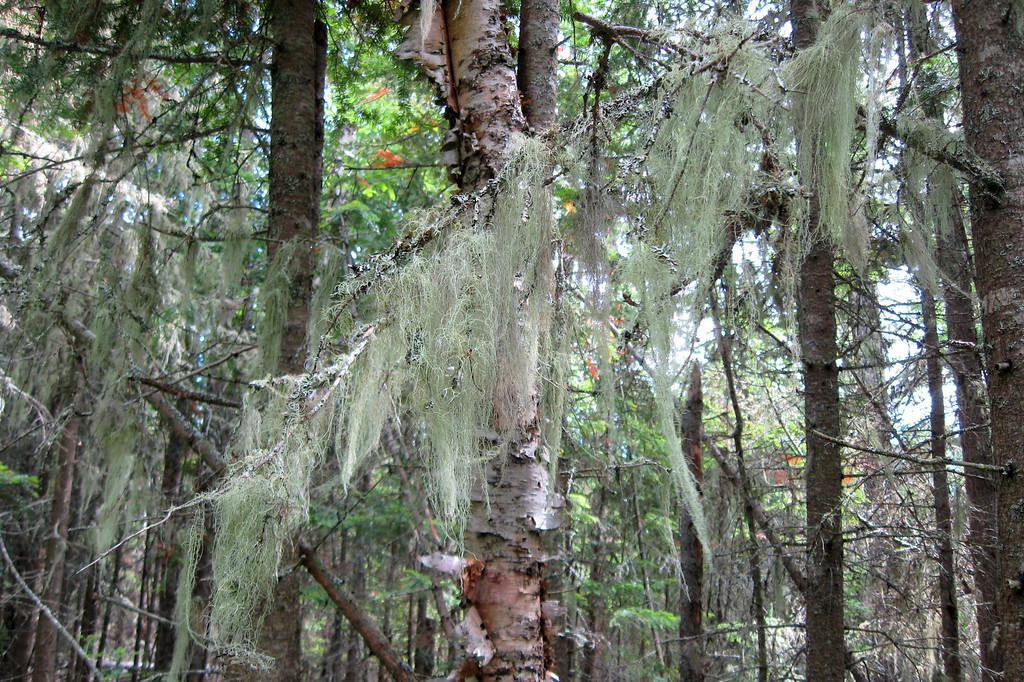 Spanish Moss lookalike...the famous southern resident actually isn't a moss or lichen but an actual plant. This, on the other hand is an actual lichen which is hard to explain but, trust me, much different ;)