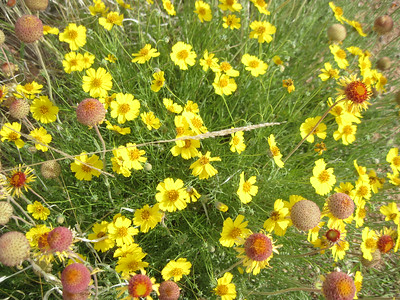 _6144 21June2014 pretty yellow flowers, Aikens Canyon hike