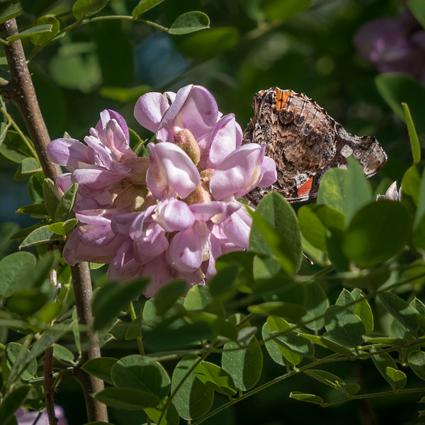 Mountain Laurel and Butterfly