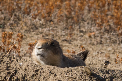 Unhappy Prairie Dog