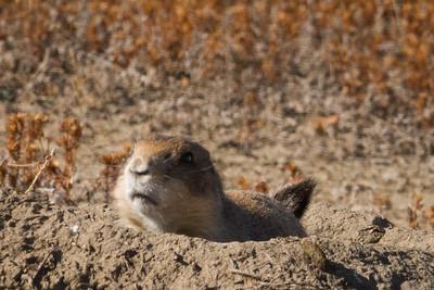 Unhappy Prairie Dog