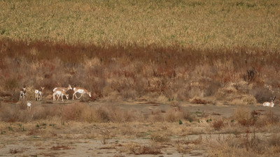 Pronghorns in the Distance