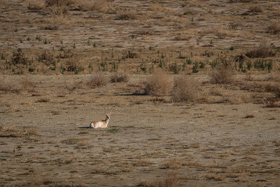 Pronghorn at Rest