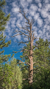 Dead Tree Against the Blue Colorado Sky