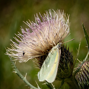 Spent Thistle Bloom with Butterfly and Insect