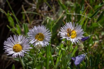 Snowy Daisy and Bee