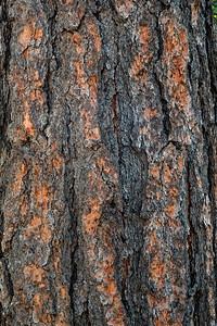 Ponderosa Pine/Bark