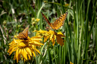 Butterflies in Heaven - Flowers could be Spearleaf Stonecrop