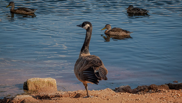Yoga Goose - Still at it...  Can you/we do this?