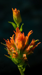 Lone Indian Paintbrush