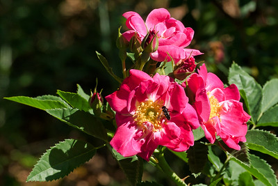 Roses - in Crescent Boulder Park