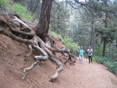 _6206 1July2014 Mt Cutler Trail, trees want to grow, even with exposed roots