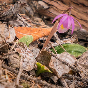 Calypso Orchid -Fairy Slipper- - Mueller State Park-07984
