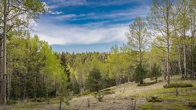 Mueller State Park -06-01-17  Freshly -minted- Aspen-07976
