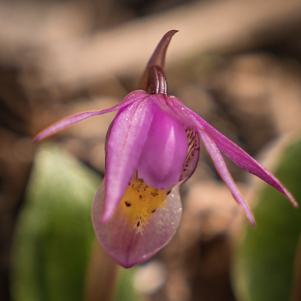 Calypso Orchid -Fairy Slipper- - Mueller State Park - Close Up-07988