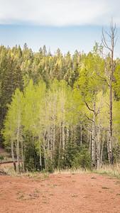 Mueller State Park -06-01-17  Freshly -minted- Aspen-07975