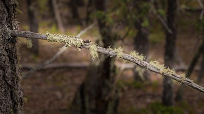 Mueller State Park -06-01-17 Mistletoe-07978