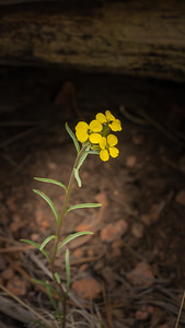 Mueller State Park -06-01-17 - Flower-08031