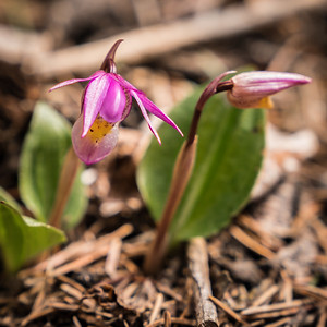 Calypso Orchid -Fairy Slipper- - Mueller State Park-07987