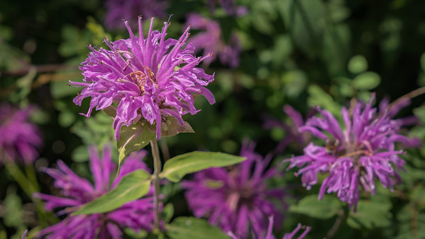Bee Balm Flower - A Field of Them Seen Along the Trail