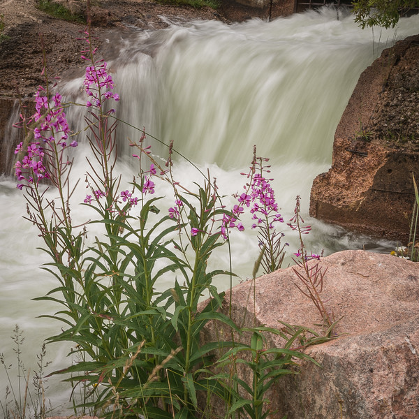 End of Trail - Water-Framed Fireweed