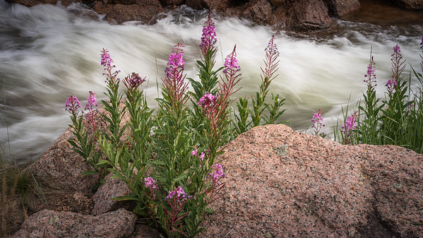 Fireweed Along Stream