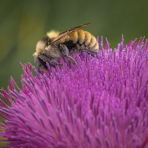 Thistle and Bumble Bee - Close Up
