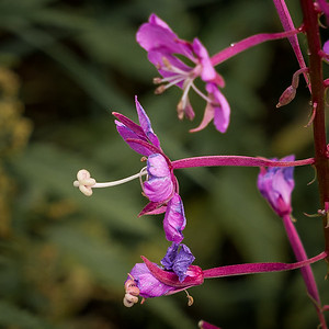 Fireweed Blossom - Close Up