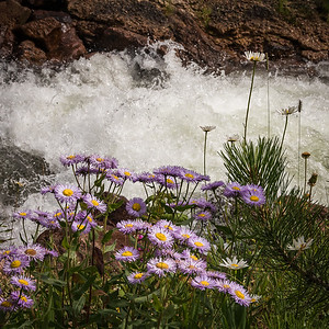 Asters Along the Stream