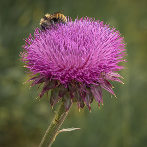 Another Thistle and Bumble Bee