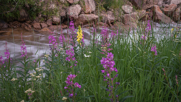 Fireweed and Golden Banner