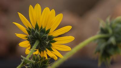 RedRock-Sunflower-03909