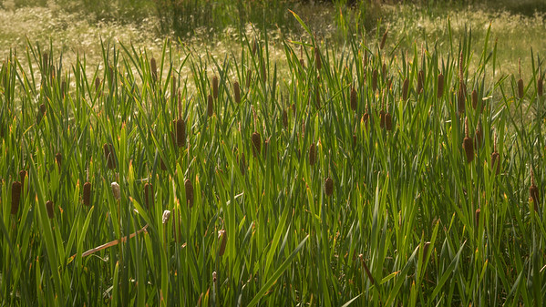 Red Rock Canyon Open Space - Cattails