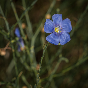 Red Rock Canyon Open Space - Alpine Flax