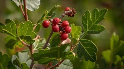 Hawthorns Berries