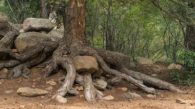 7Bridges-TreeRoots-03156