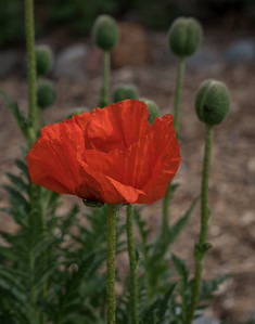 Corn Poppies (Papaver Rhoeas)