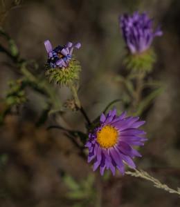 Shootin' Star Hike-Flower-04017
