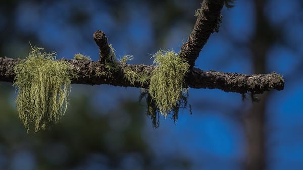 ShootinStar-TreeMoss-03943