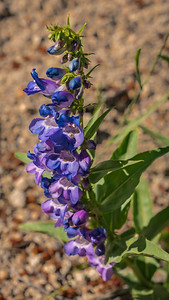 Spruce Mountain - Pre Hike-Penstemon-08615