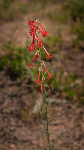 Spruce Mountain - Pre Hike-Scarlet Gilia (Fairy Trumpet)-08637