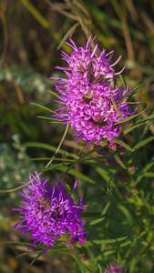 Gayfeather Flowers  (Liatris Punctata)